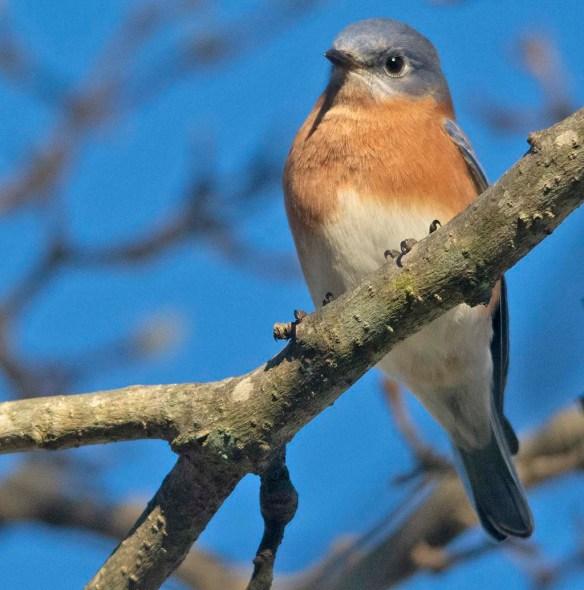 Eastern Bluebird 2020-109