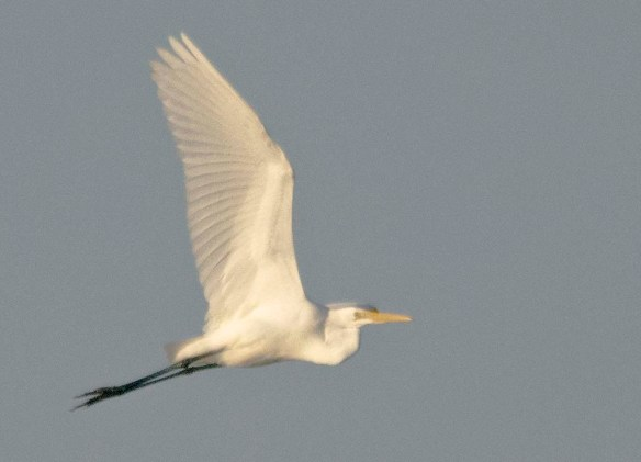Great Egret 2020-259