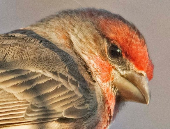 House Finch 2020-8