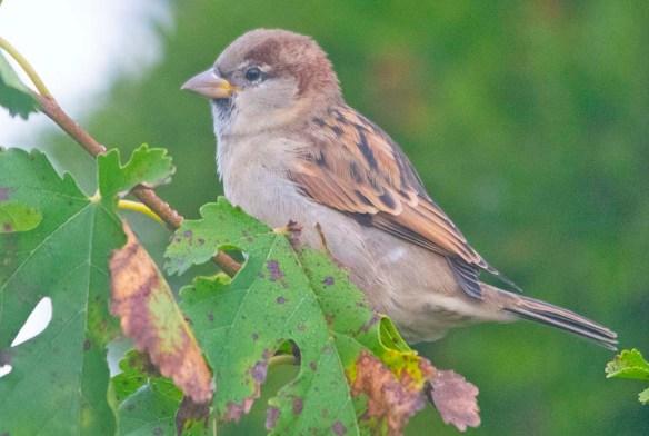 House Sparrow 2020-1
