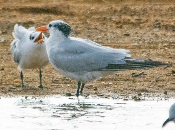 Royal Tern 2020-2