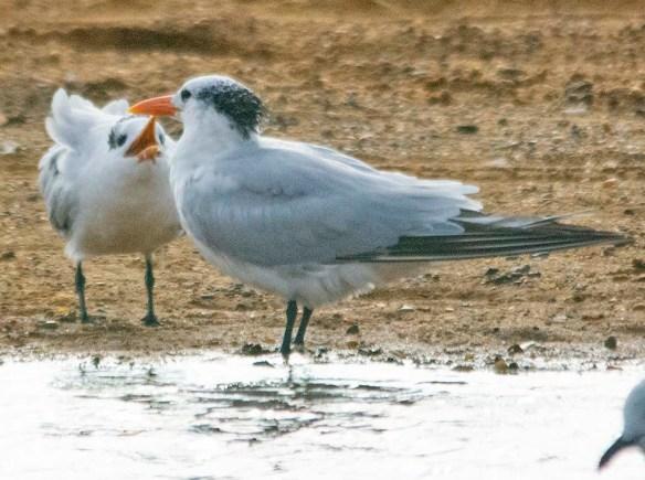 Royal Tern 2020-2