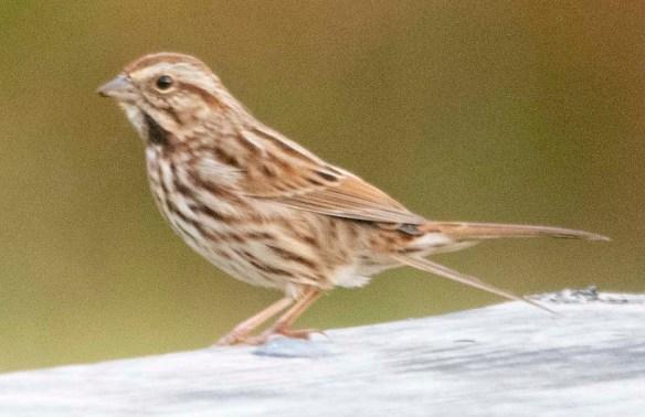 Song Sparrow 2020-8