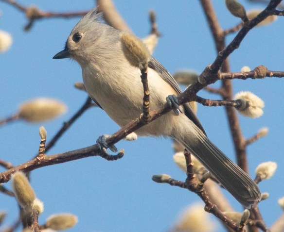 Tufted Titmouse 2020-11