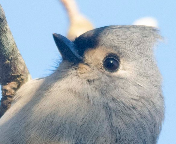 Tufted Titmouse 2020-8