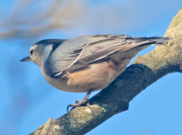 White Breasted Nuthatch 2020-12
