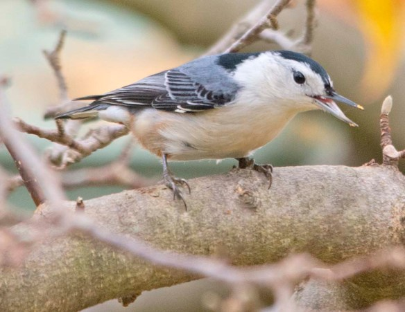 White Breasted Nuthatch 2020-19