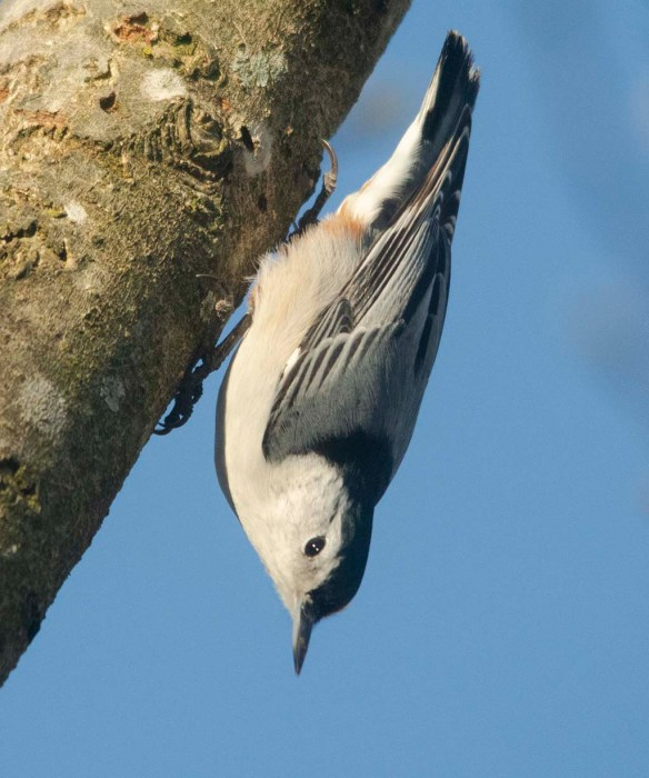 White Breasted Nuthatch 2020-23