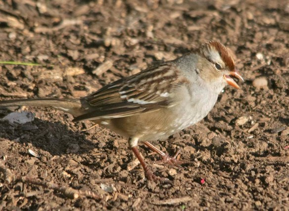 White Crowned Sparrow 2020-10