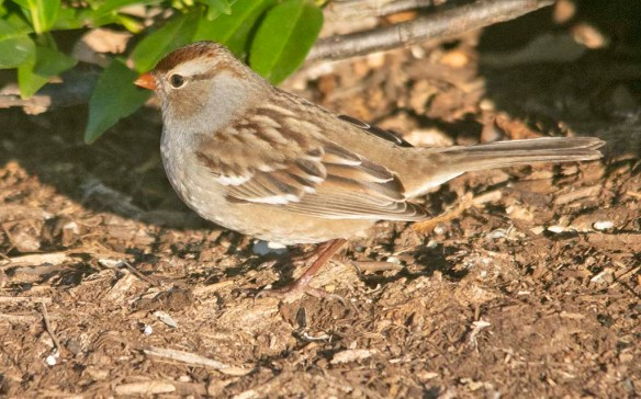 White Crowned Sparrow 2020-12