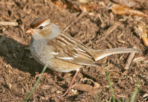 White Crowned Sparrow 2020-8