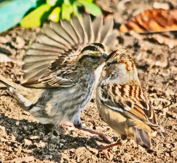 White Crowned Sparrow 2020-9