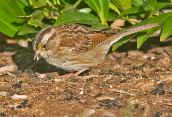 White Throated Sparrow 2020-29