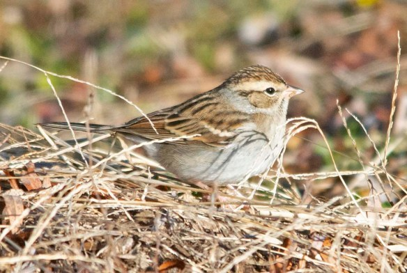 Chipping Sparrow 2020-26