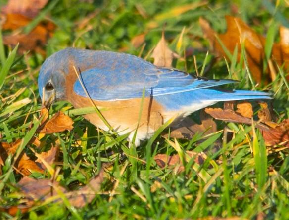 Eastern Bluebird 2020-112