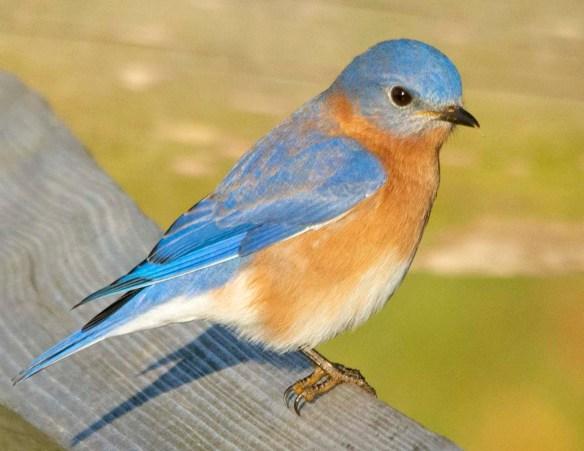 Eastern Bluebird 2020-113