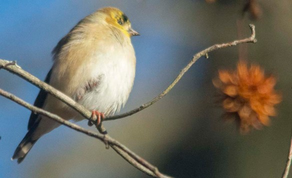 Goldfinch 2020-22