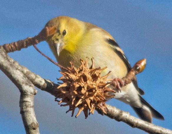 Goldfinch 2020-23
