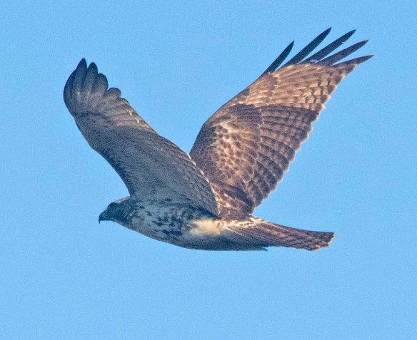 Red Tailed Hawk 2020-2