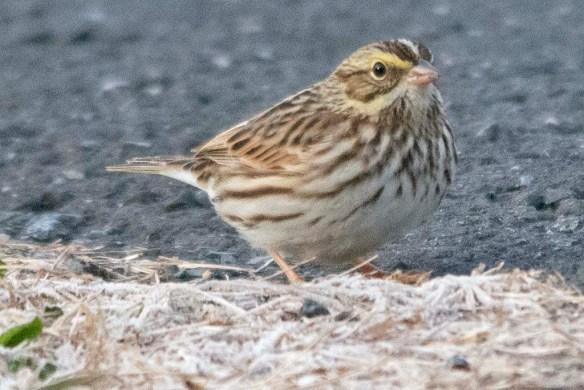Savannah Sparrow 2020-1
