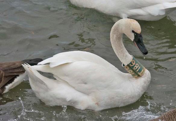 Tundra Swan 2020-47