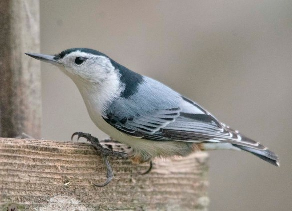 White Breasted Nuthatch 2020-39