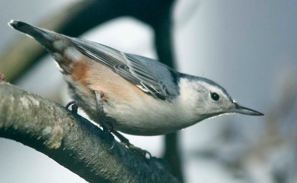 White Breasted Nuthatch 2020-44