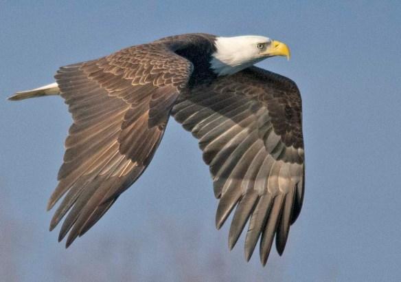 Bald Eagle 2019-1