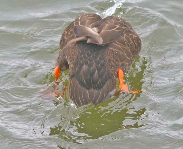 Black Duck 2021-5