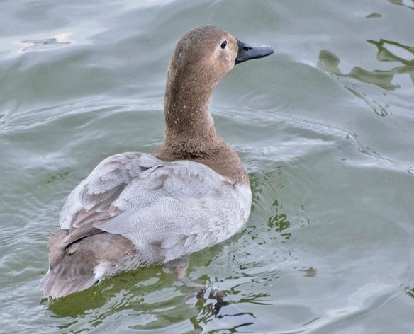 Canvasback 2021-47