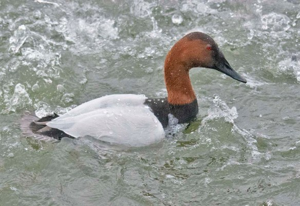 Canvasback 2021-48
