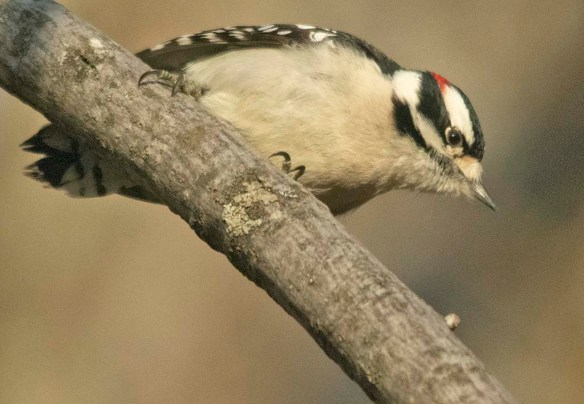 Downy Woodpecker 2021-2