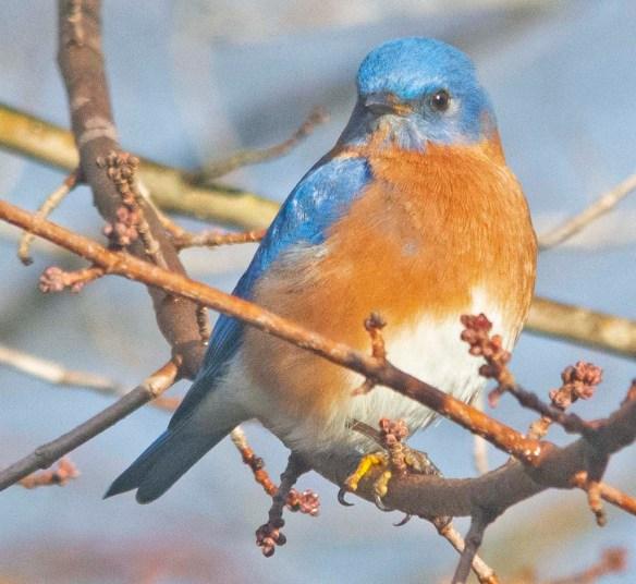 Eastern Bluebird 2020-1