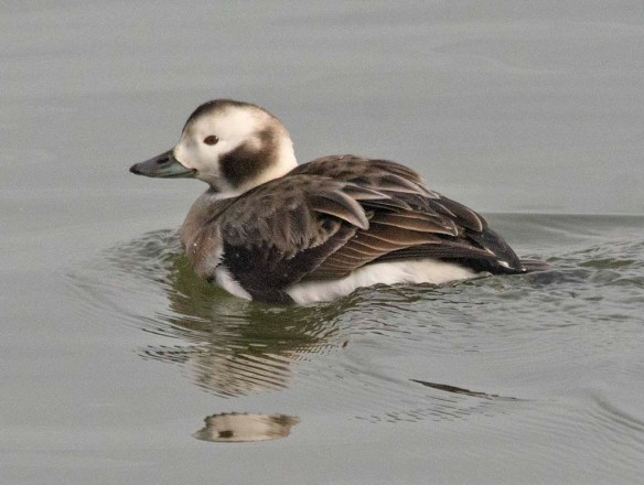Long Tailed Duck 2021-14
