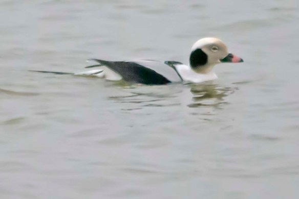 Long Tailed Duck 2021-4