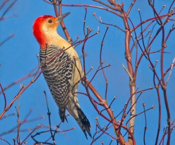 Red Bellied Woodpecker 2021-2