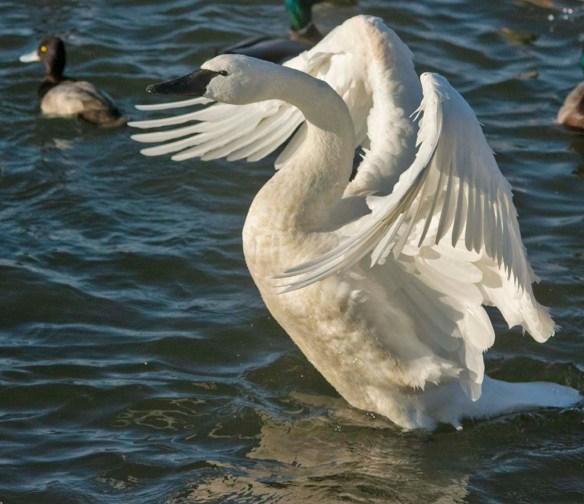 Tundra Swan 2021-12