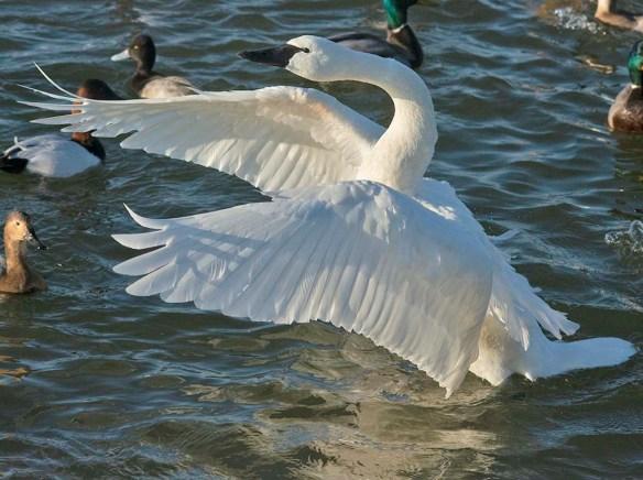 Tundra Swan 2021-13