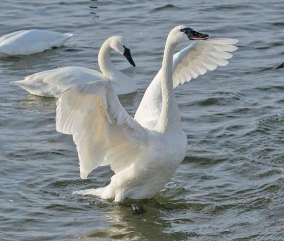 Tundra Swan 2021-18