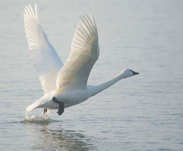 Tundra Swan 2021-22