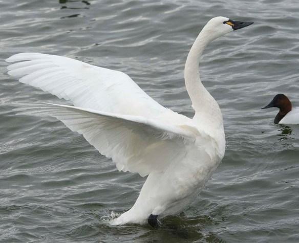 Tundra Swan 2021-56