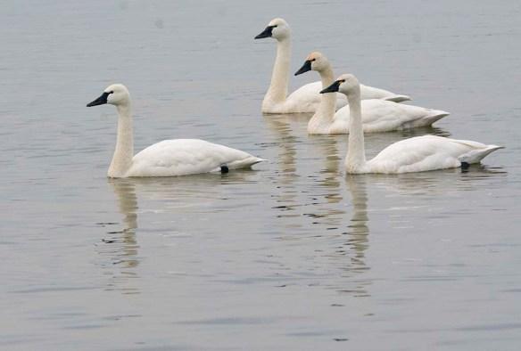 Tundra Swan 2021-8