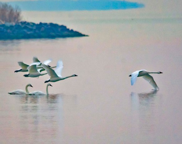 Tundra Swan 2021-9