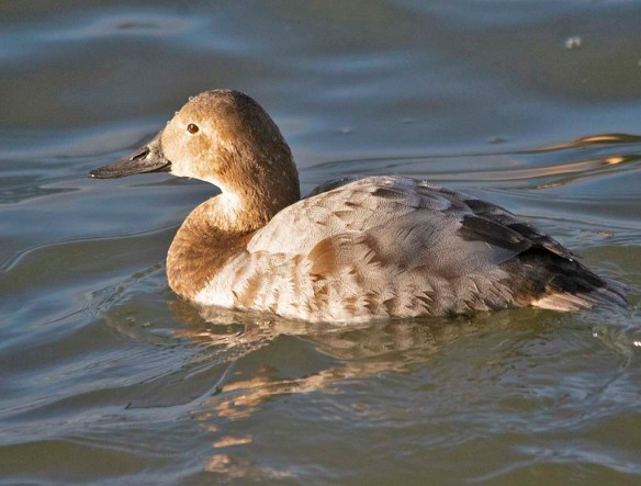 Canvasback 2021-89