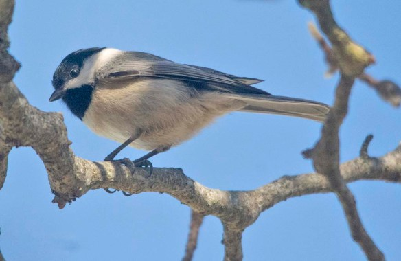 Carolina Chickadee 2021-2