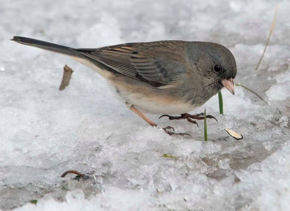 Dark Eyed Junco 2020-11