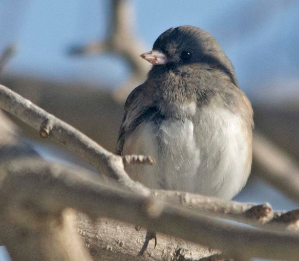 Dark Eyed Junco 2020-9