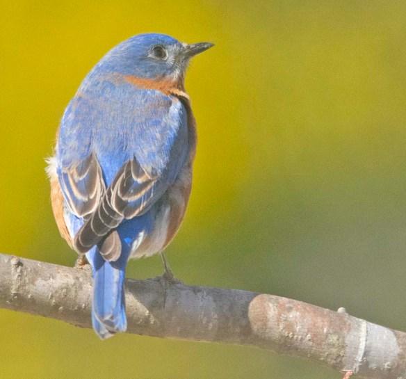 Eastern Bluebird 2020-12