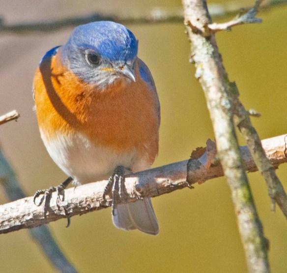Eastern Bluebird 2020-7
