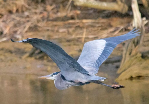 Great Blue Heron 2021-5
